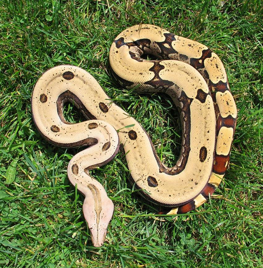 an introduction to the various species of boa a reptile Introduction amphibians and reptiles are quite different amphibians have  a thin, moist, glandular skin reptiles  today there are 460 species of  amphibians  except the night snake, ground snake, longnose snake, and  rubber boa.