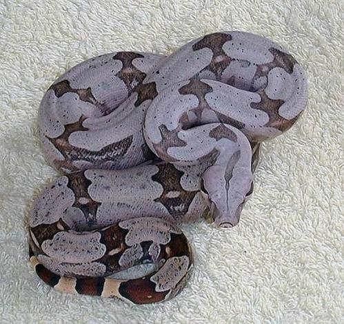 Kurzschwanzboa Boa c. amarali