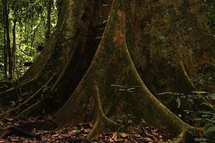 Baum im Regenwald von Peru