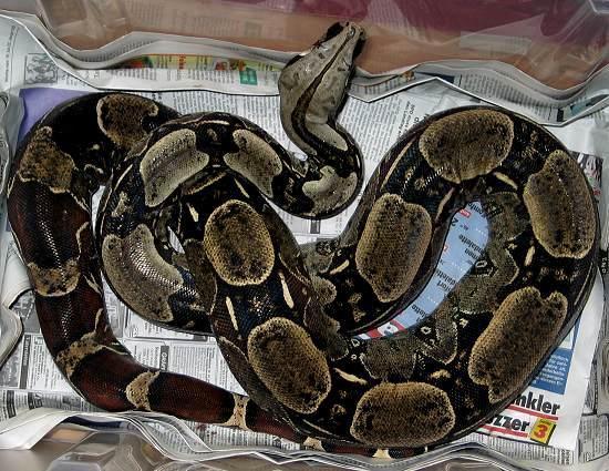 Boa c. constrictor Venezuela - Venezuela Rotschwanzboa