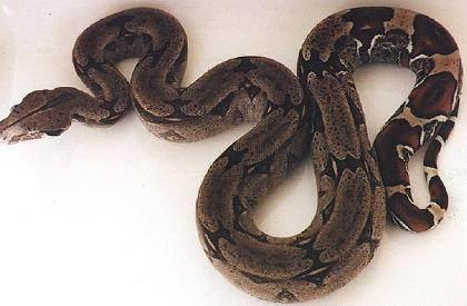 Boa c. constrictor Trinidad - Trinidad Rotschwanz Boa