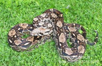 Boa c. imperator Belize Crawl Cay