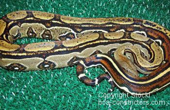Boa constrictor Foto Archiv