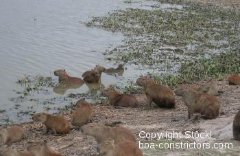 CapybarasInDenLlanosK.jpg