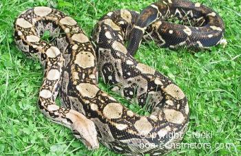 Boa c. imperator Belize Crawl Cay