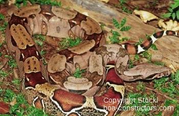 Boa c. constrictor Französisch Guyana