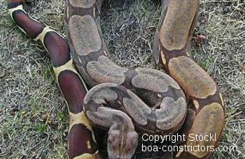 Boa c. constrictor Guyana