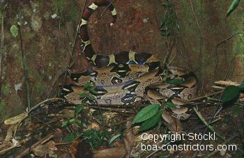 Boa c. constrictor Kolumbien - Kolumbianische Rotschwanzboa