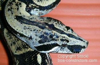 Boa c. longicauda Longtailboa