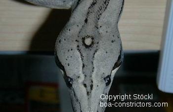 Boa c. longicauda Longtail boa