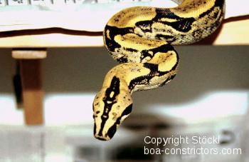 Langschwanzboa Boa c. longicauda