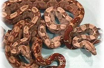 Cancun Boa c. imperator Mexiko