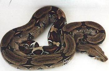Trinidad Rotschwanz Boa - Boa c. constrictor Trinidad